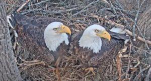Bald_Eagle_pair