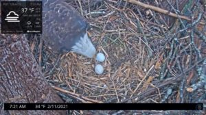 Eagle with 2 eggs in nest