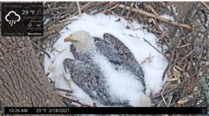Eagle incubating in snow