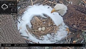 Eagle Eggs in snowy nest