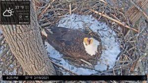 """Bald Eagle """"Hope"""" calling while incubating"""