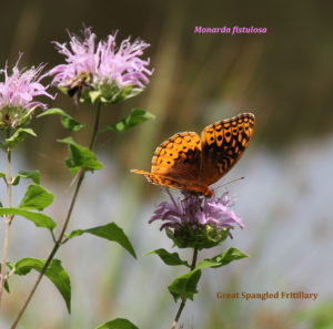 Spangled Fritillary on Wild Bergamot