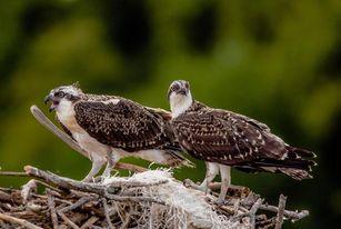 Two Osprey at nest platform