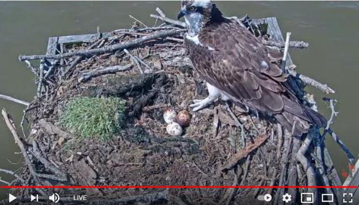 Osprey adult on nest with eggs
